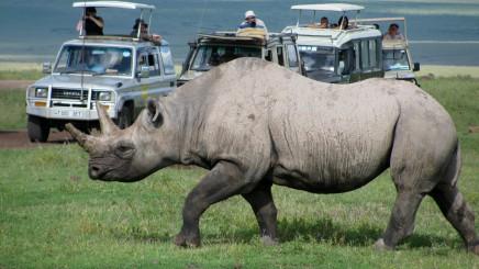Nosorožce budete na Safari potkávat přímo u cesty