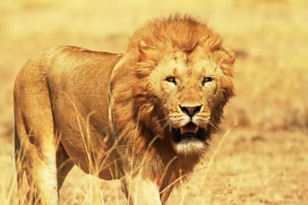 Střetnete se i s králem zvířat