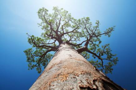 Na Madagaskaru roste 6 z 8 druhů baobabů