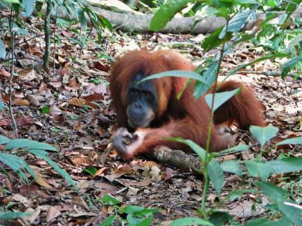 Podíváme se zblízka na projekt vypuštění orangutanů do volné přírody