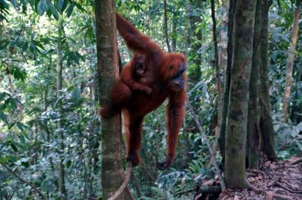 Orangutani na Sumatře žijí ve volné přírodě