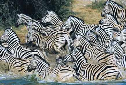 Namíbie - zebry se tu vyskytují ve velkých stádech