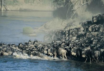 Pakoně překračující řeku Mara