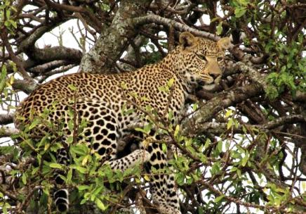 Leopard v korunách stromů