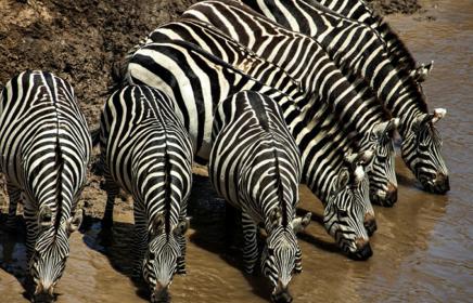 Zebry se v Masai Mara pohybují ve velkých stádech