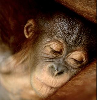 Zblízka si prohlédnme projekt vypouštění orangutanů zpět do volné přírody