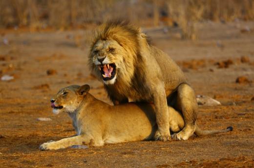 Nejčastěji budete mít štěstí na lvi