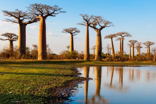 Vydáte se do unikátního lesa baobabů