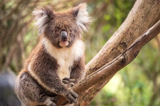 Koaly jsou typičtí vačnatci pro eukalyptové lesy Austrálie