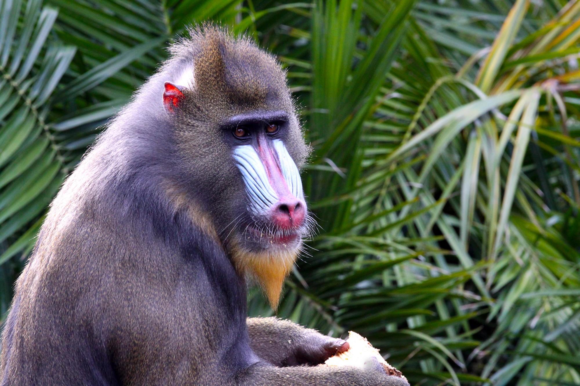 Největší pravá opice na světě