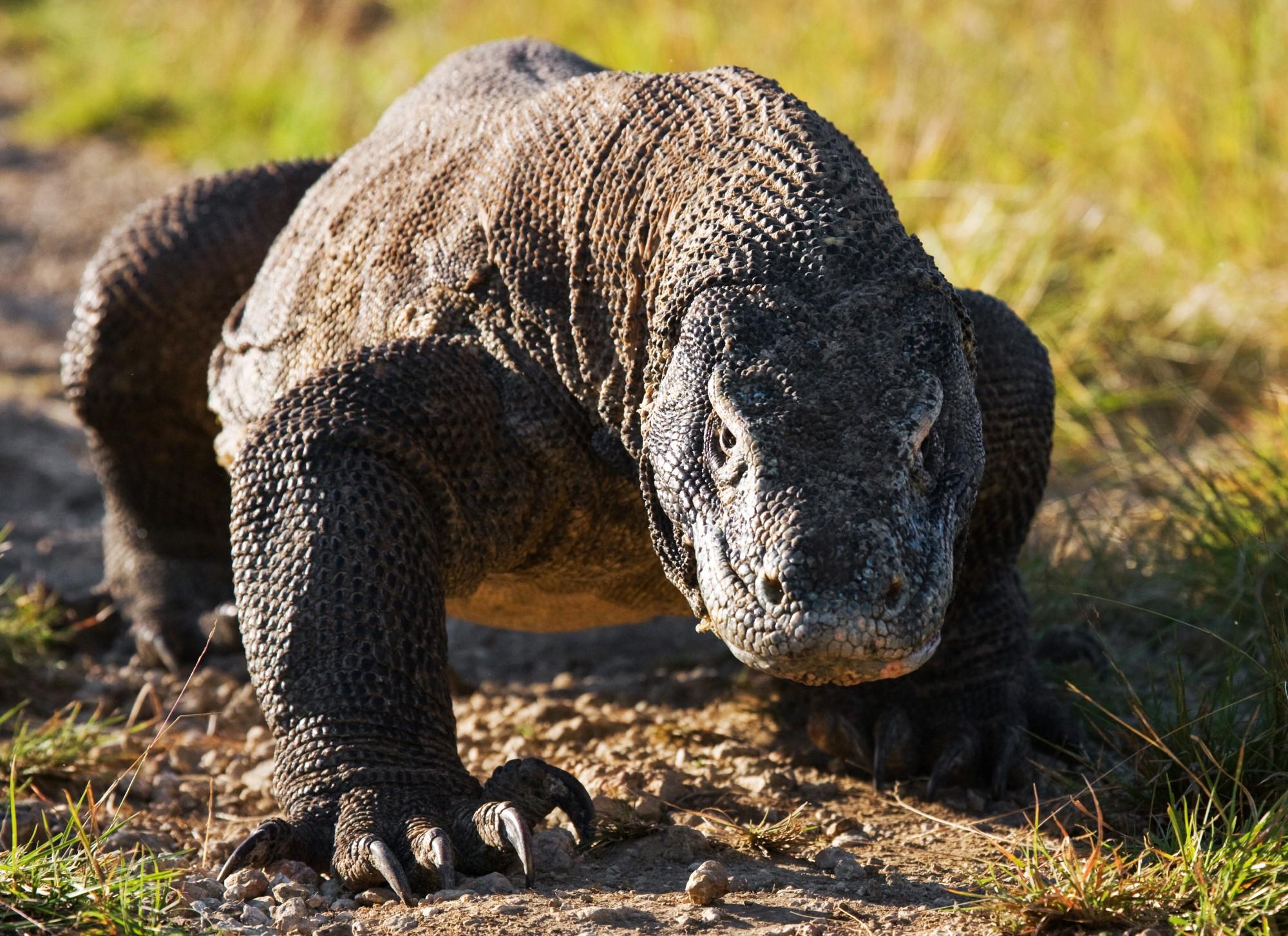 Varan komodský na ostrově Komodo