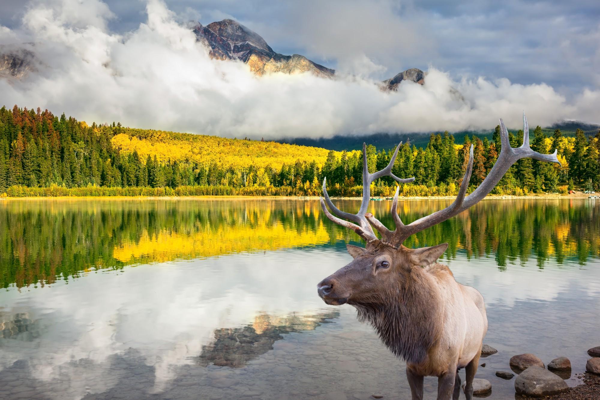 Wapiti v národních parcích