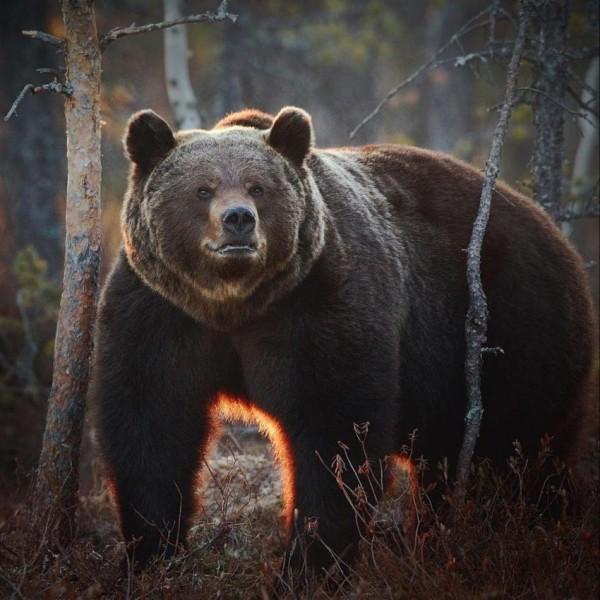 Večerní pozorování medvědů
