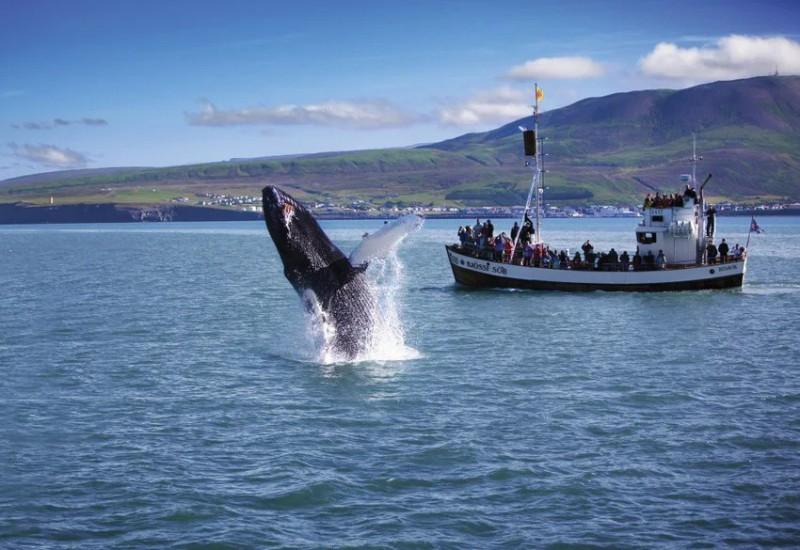 Pozorování velryb nedaleko Husaviku
