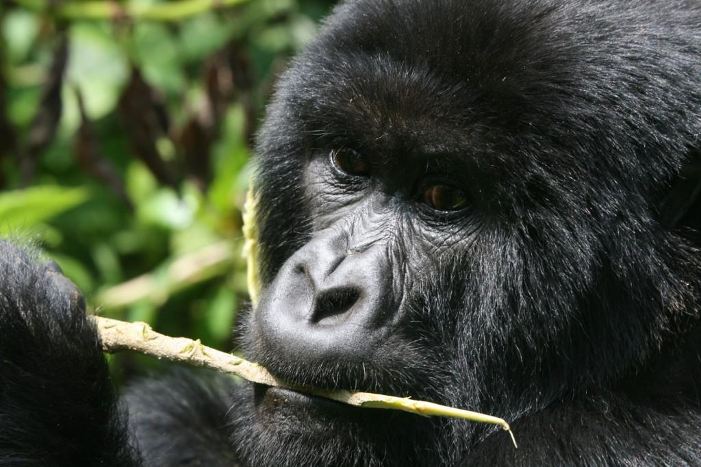 Pozorujeme horské gorily při běžných činnostech