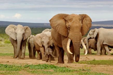 safari v Africe v Chobe