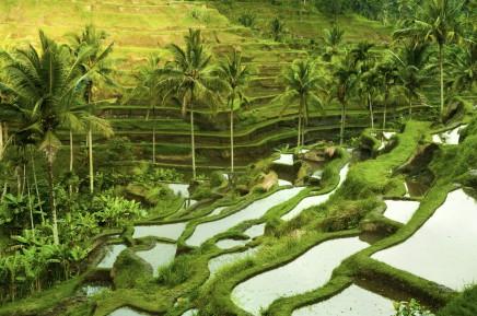 rýžové terasy na Bali, Indonésie