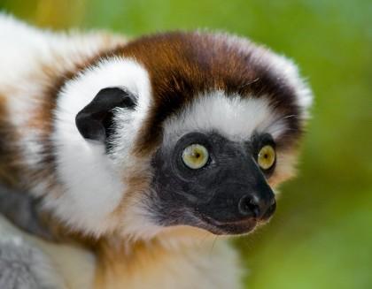 lemur Madagaskar, Antananarivo