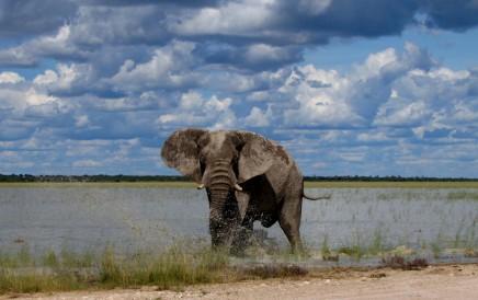 safari v Chobe, Afrika
