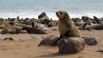 Na Cape Cross budete obdivovat kolonie tuleňů