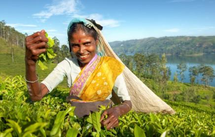 čajové plántáže na Srí Lance
