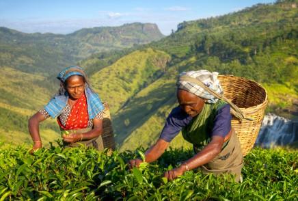 sběr čaje na Srí Lance