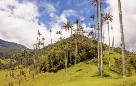 Uvidíte nejvyšší palmy světa v údolí Cocora