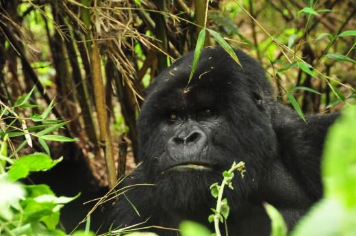 Na setkání s gorilou jen tak nezapomenete