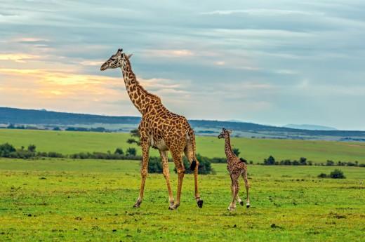 safari v Masai Mara v Africe