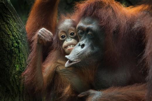 Sumatra, orangutáni