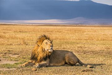 Lev v Jižní Africe